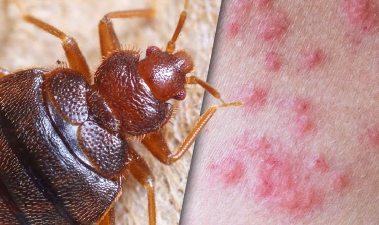 Bedbugs warning: A smell of cilantro could indicate you may have an infestation