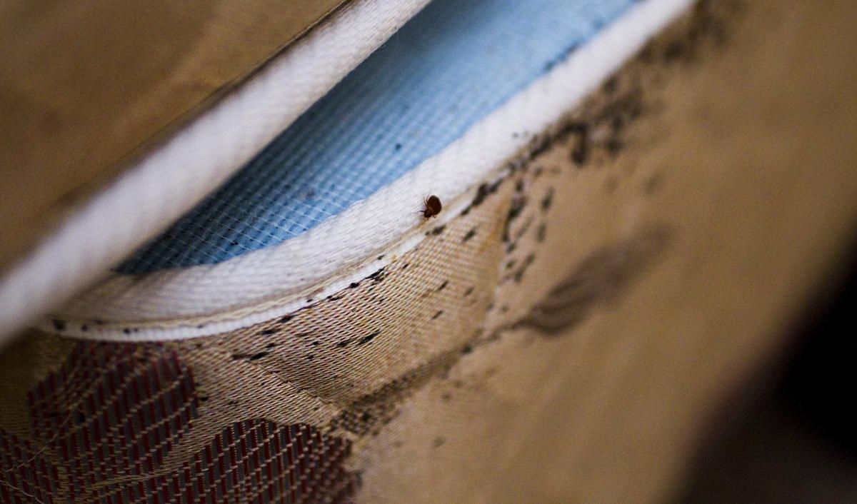 Bedbug calls may be down during COVID-19, but just wait