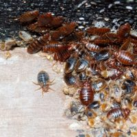 Unipest Pest Control - Bed Bugs